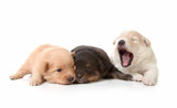 Yawning Cuddly Newborn Puppies poster