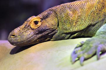 Closeup of a Komodo Dragon resting on a rock
