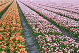 Endless rows of beautiful tulips in the Netherlands poster