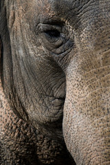 Elefante Indiano Africano