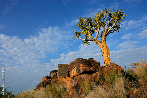 canvas print picture Quiver tree (Aloe dichotoma) landscape, Namibia