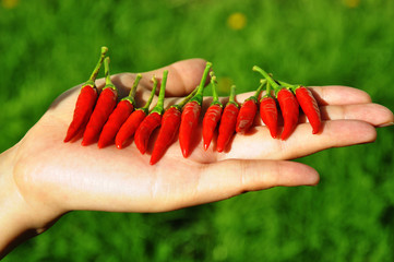 Hand in the garden with a bunch of red chillies