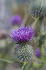 Purple Thistle close-up