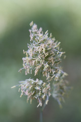 Macro of flowering Grass