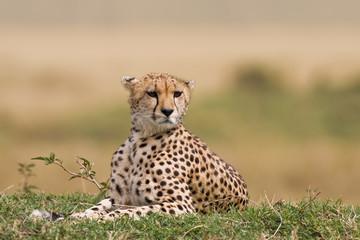 Blicke vom Gepard