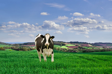 Lone Friesian  cow in a meadow.