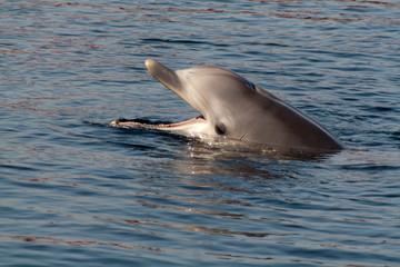 Rufender Delfin