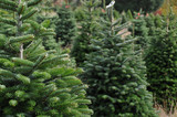Fototapety Christmas tree farm