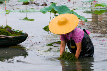 Woman working in lotus pool