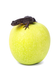 Brown newt on green apple