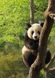 Cute young panda sitting on a tree en face