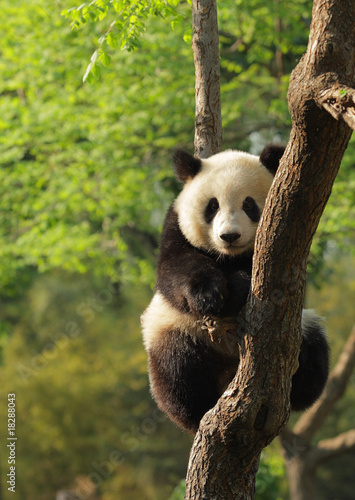Deurstickers Panda Cute young panda sitting on a tree en face
