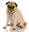 barking dog problems - pug with tape on mouth ..