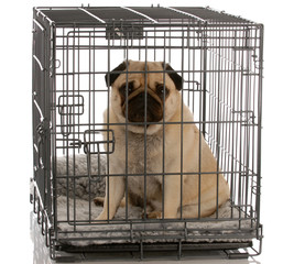 pug sitting in a wire dog crate looking out a viewer ..