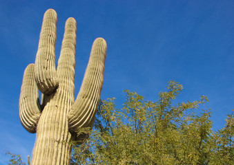Saguaro Cactus against a Bright Blue Sky