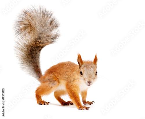 Aluminium Eekhoorn squirrel