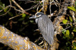 nycticorax violaceus, yellow-crowned night heron