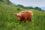 Highland cattle in scottish higlands, scotland, UK
