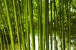 Fototapeten,bambus,grün,wald,halm