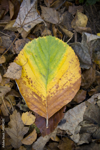 Colourful Fallen Autumn leaf
