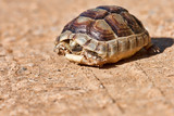 Spur-thighed Tortoise poster