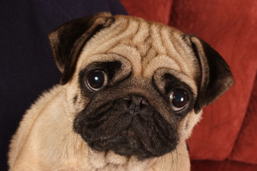 Pug sitting in front of  red background.