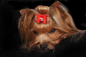 Yorkshire Terrier Portrait on black background.