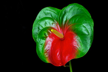 Flamingoblume - Anthurium 25