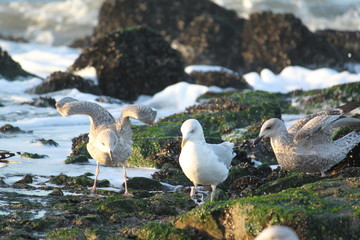 Brown and silver seagulls