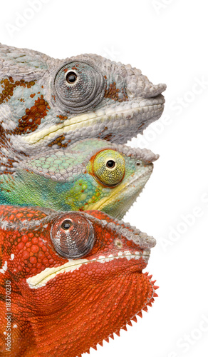 Close-up of colorful Chameleon in front of white background