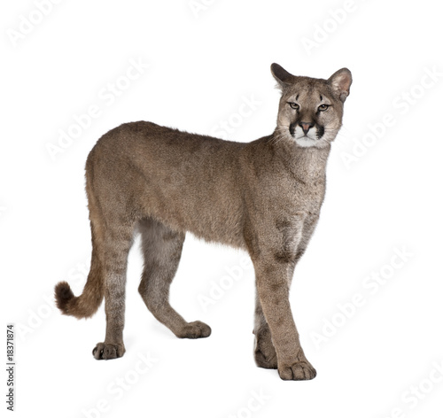 Fotobehang Puma Portrait of Puma cub, standing in front of a white background