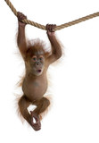 Fototapety Baby Sumatran Orangutan hanging on rope against white background