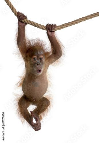 Leinwanddruck Bild Baby Sumatran Orangutan hanging on rope against white background