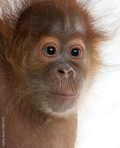 Close-up of baby Sumatran Orangutan, against white background