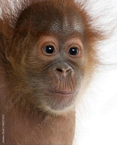 Close-up of baby Sumatran Orangutan, against white background