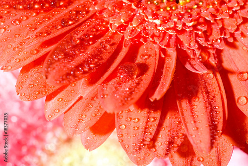 Close up red daisy-gerbera with water drops and shallow focus