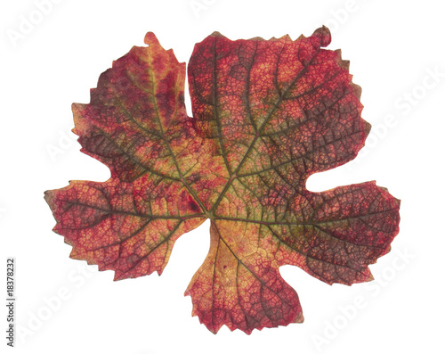 Brilliant crimson autumn vine leaf