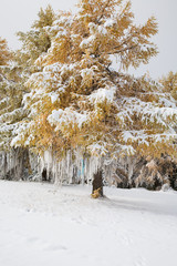 Yellow Larch decorated with white ribbons