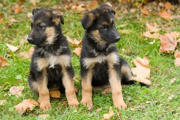 Two sheepdog puppys.