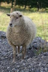 Ouessant Schaf