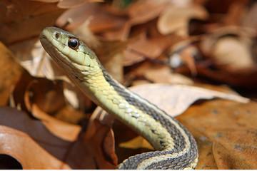 Garter Snake On Leaves