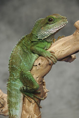 Chinese water dragon on branch