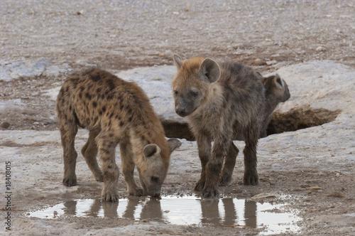 Fotobehang Hyena Hyena cubs