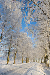 Frost covered birch tree