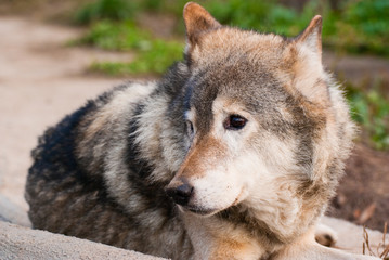 Wolf in Moscow zoo