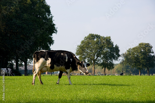 Dutch cow in grassland