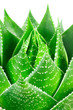Aloe cosmo. Macro
