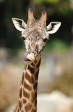 african reticulated giraffe showing long tongue by licking nose poster