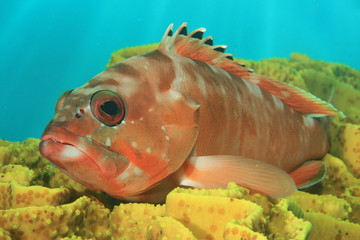 Blacktip Grouper rests on coral
