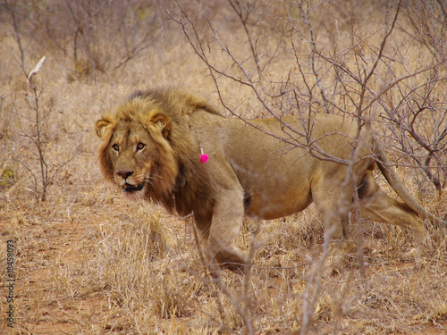 Darting a Male Lion
